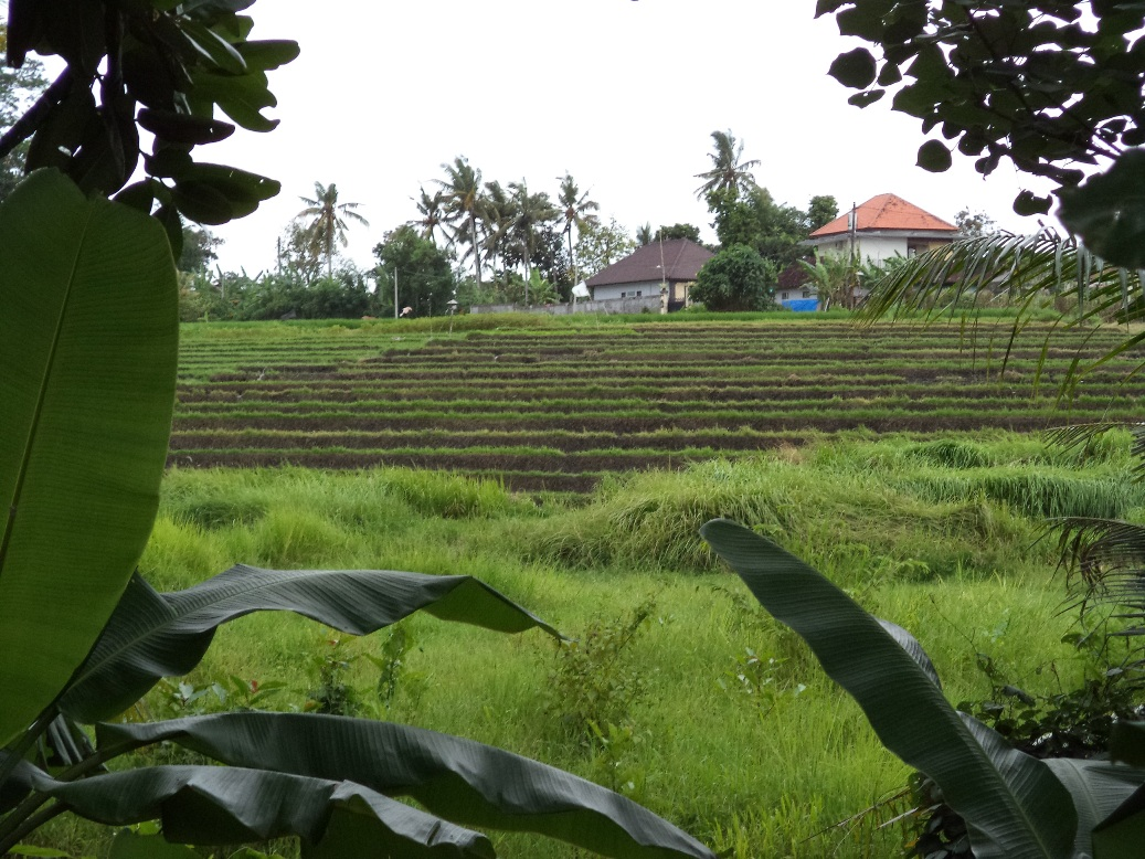 Great ricefield land 5 are Tumbak Bayuh