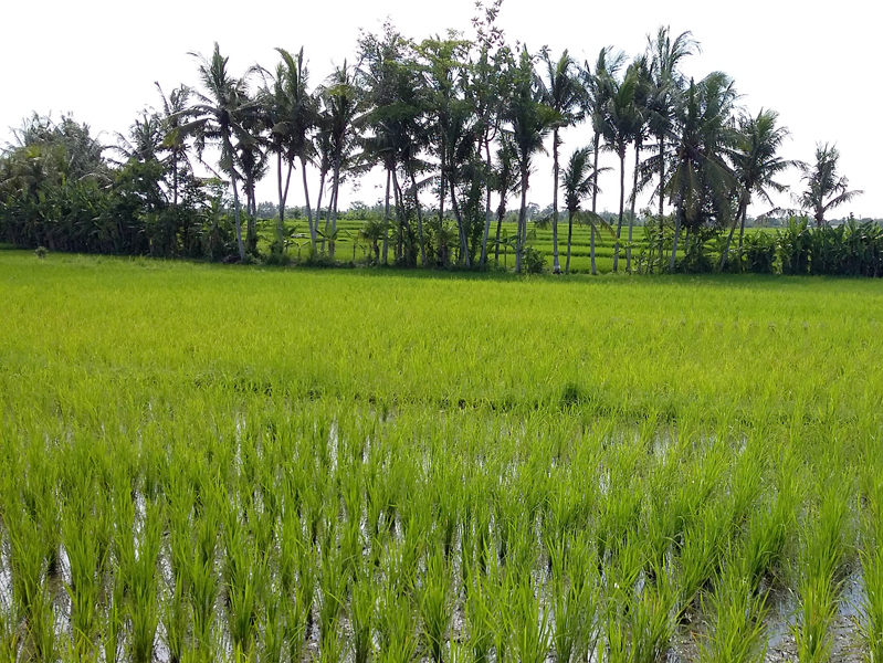 Nice freehold land rice paddy view - Pandak Gede Tabanan