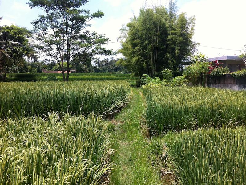 Beautiful rice paddy view 10 are Nyambu Tabanan