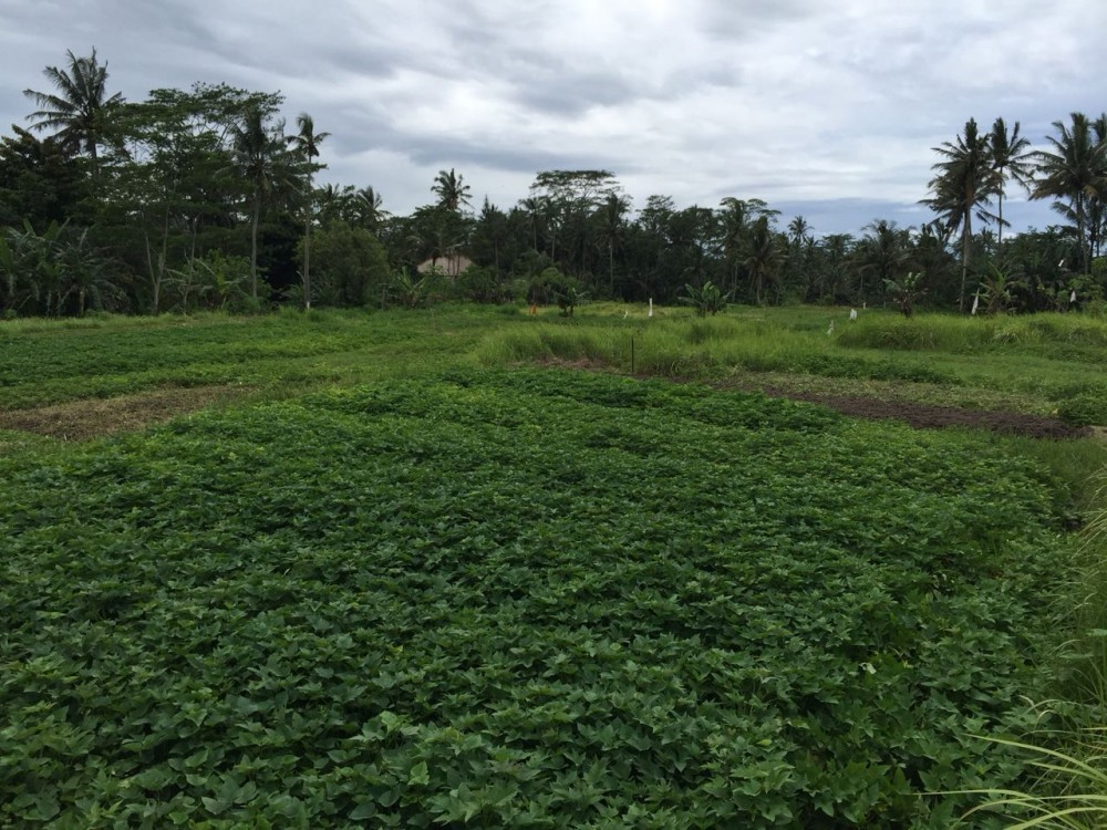 Land for sale in Pejeng Kelod with nice view and surrounded by ricefield