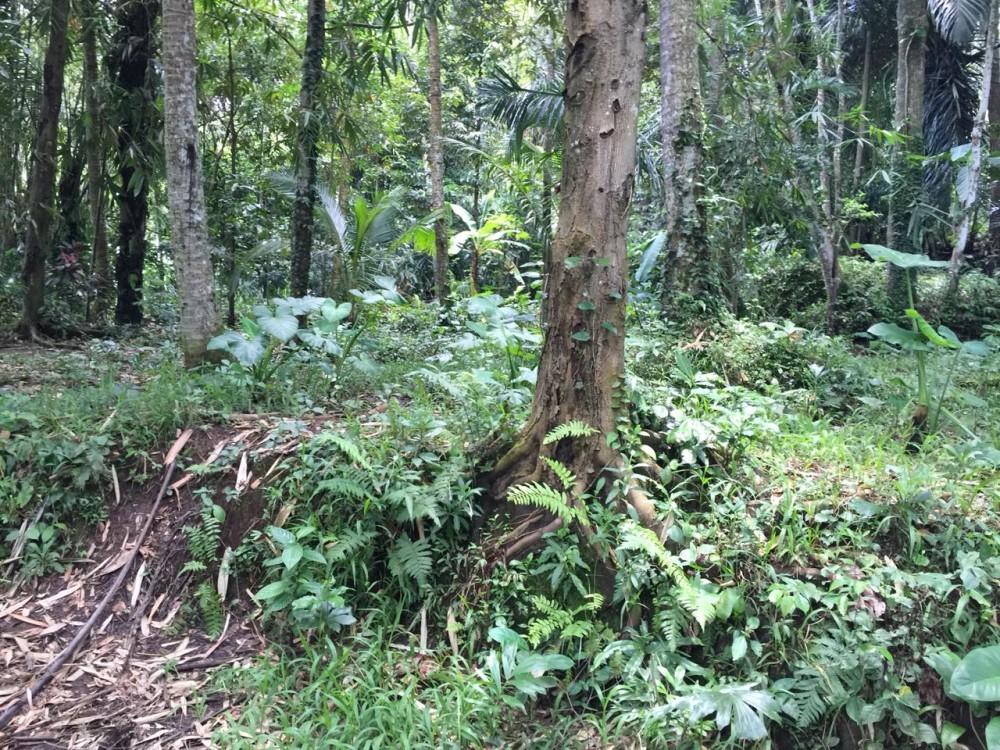 Terrain situé à Sebali-Ubud avec l'incroyable forêt verte entourant la terre