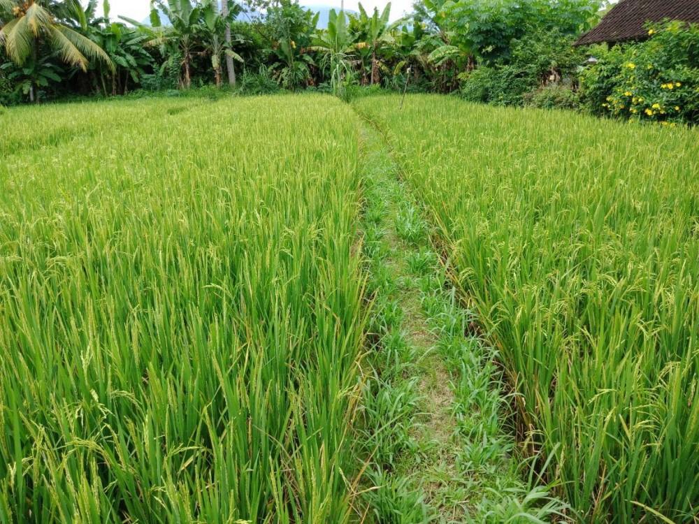 Freehold ricefield land for sale in Subagan-Karangasem