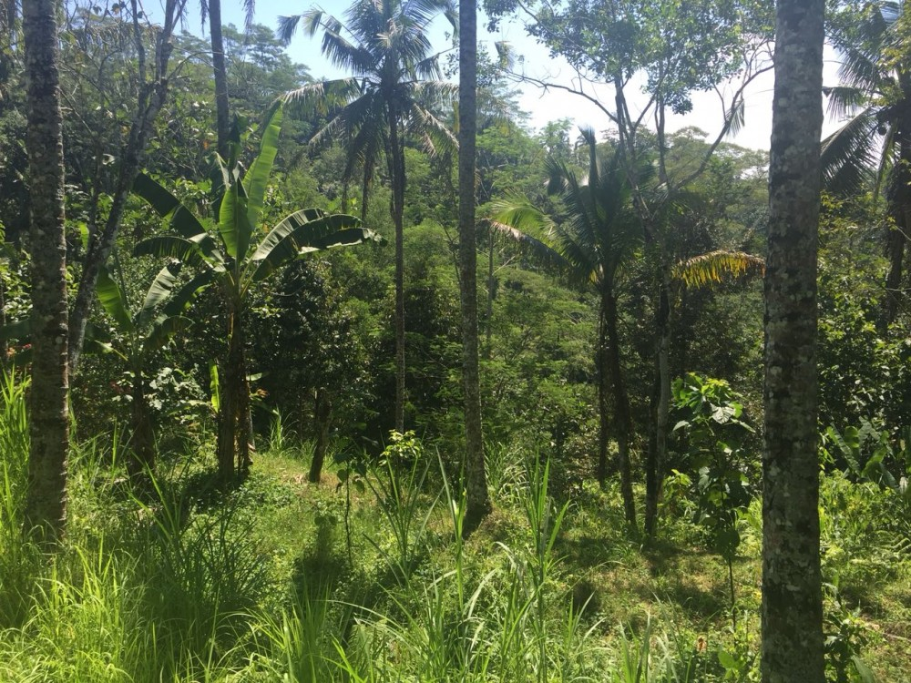 Big land for sale in klusa payangan gianyar