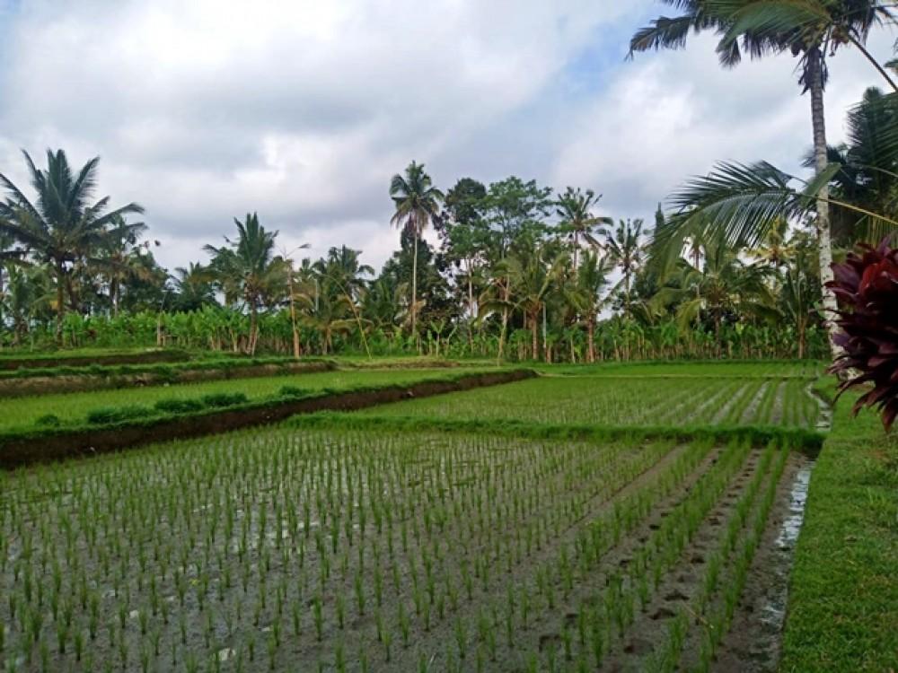 Magnifique terrain avec vue sur les rizières à vendre à Payangan